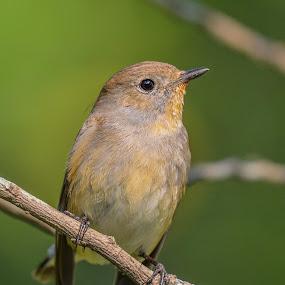 Taiga Flycatcher by Suman Basak - Animals Birds ( nature, green, wildlife, cute, small, birds, eyes )