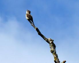 Photo: Willow Flycatcher