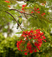Photo: A Muller's Barbet (Megalaima Oorti) rests on a Flame Tree (Delonix Regia) branch in Tainan City, Taiwan