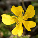 Rough Buttercup