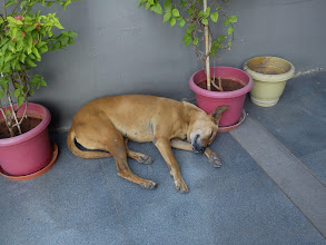 Photo: Perhaps the son (or daughter?) of Tan-chan, the dog living in a sports gym near our home. Both doggies are kept together under the gym, and they welcome early birds visiting for their work-out every morning.  30th April updated (日本語はこちら) - http://jp.asksiddhi.in/daily_detail.php?id=527