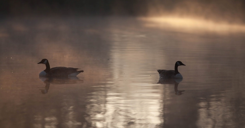 Canadian geese on still water