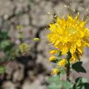Golden bee plant