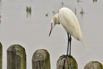 Photo: Reddish Egret