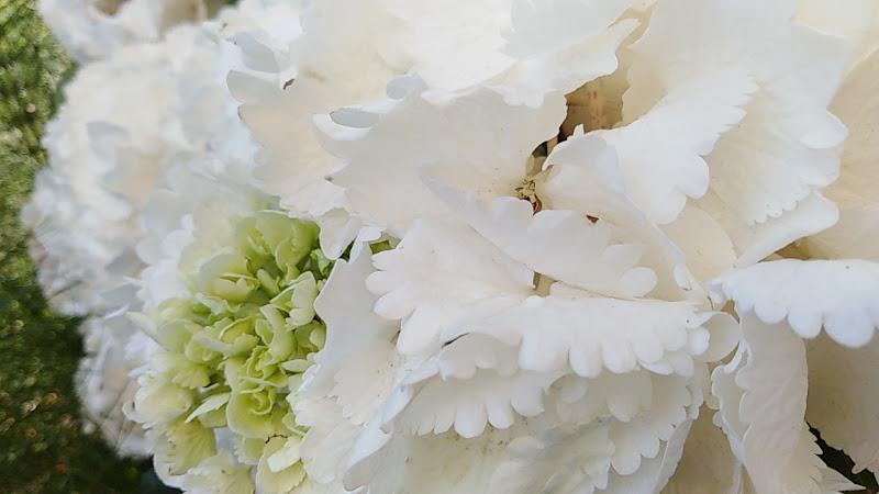 hortensis hydrangea di Puci