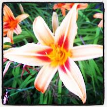 Photo: Beautiful flower in the neighbourhood #intercer #flower #flowers #beautiful #petal #petals #green #orange #white #yellow #blossom #nature #plant #plants #color #colour #pretty #garden #stem #flora #flor #flores #fiori #instanature - via Instagram, http://instagr.am/p/NkVHsYJfmc/