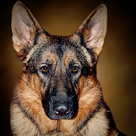Justice by Dawn Vance - Animals - Dogs Portraits ( german shepherd, mans best friend, dog, male, dog portrait, sable )