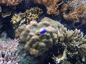 Photo: Chrysiptera parasema (Yellow-tail Blue Damselfish), Lusong Island, Coral Garden Reef, Palawan, Philippines.
