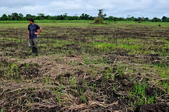 Photo: Emiliano checks on newly seeded rice field of WARC operation in Tormabum, Bo District, SW Sierra Leone. The biomass is from cut grass fallow that preceded the rice field. [Photo by Erika Styger, July 2012]
