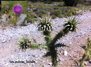Photo: Onopordum bracteatum (compositae) ΟΡΟΠΕΔΙΟ ΛΙΜΝΑΚΑΡΟ(1156μ.)  ONOΠΟΡΔΟ ΤΟ ΒΡΑΚΤΕΙΟΦΟΡΟ.Το όνομα προέ- ρχεται από τις Ελληνικές λέξεις Ονος και πέρδομαι προφανώς από τα αποτελέσματα της επίδρασης του φυτού στο ζώο.Φυτό με ισχυρό γκριζοπράσινο τριχωτό βλαστό που διακλαδί- ζεται,με φύλλα πτεροσχιδή επίσης με πυκνό τρίχωμα στην κάτω πλευρά.Κεφάλια μεγάλα περίπου 7 εκ.παρόμοια με αυτά της αγκινάρας Ενδημικό της Κρήτης σε πετρώδεις τοποθεσίες