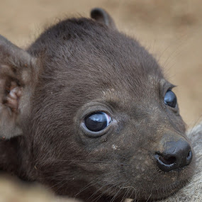 Hyena cub by Charmane Baleiza - Animals Other Mammals ( hyena, kruger, south africa, babies, hyena cub )