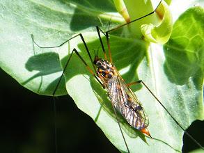 "Photo: TIPULE : "" Ctenophora crocata""- avril - sur feuille centranthe rouge."