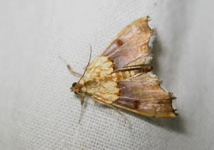 Photo: Agrotera nemoralis   Lepidoptera > Crambidae