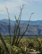 Photo: Ocotillo; Anza Borrego Desert State Park
