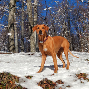 by Ivana Tilosanec - Animals - Dogs Portraits ( ridgeback, winter, dogs, pet, pets, dog,  )