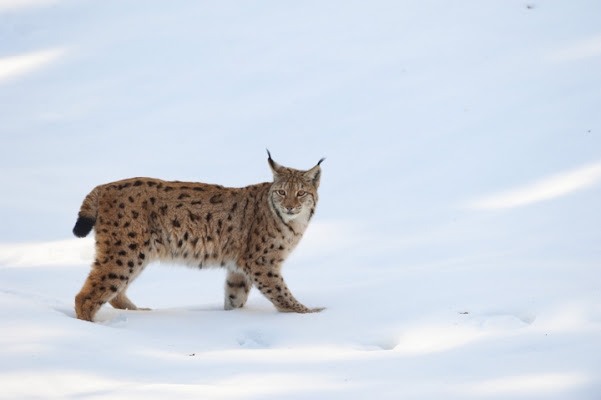 Lynx in the Snow di Andrea Izzotti