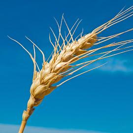 Wheat Up Close by Bill Diller - Nature Up Close Other plants ( michigan, farming, farm, wheat, grain, farm crops, crops, food )