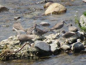 Photo: 撮影者:若狭誠 定期C キアシシギ タイトル:キアシシギの群れ 観察年月日:2015.5.15 羽数:8羽 場所:暁橋上流 区分:鴫チ メッシュ:八王子7K コメント:浅川定期カウントで、あちこちにキアシシギの小さな群れが見られ合計で21羽を観察した。写真は7羽+1羽の群れ。
