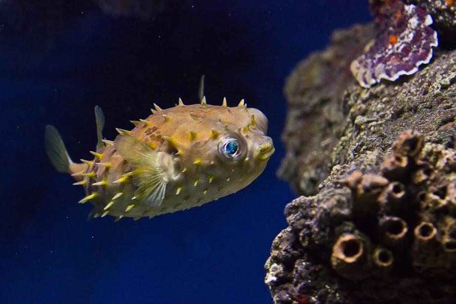 Orbicular Burr Fish by Bradley Estus - Animals Fish