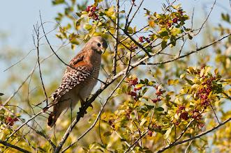 Photo: Red shouldered hawk