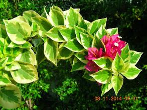 Photo: mini Thai variegata