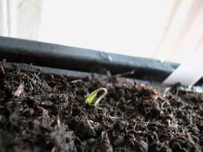 """Photo: Aynı gün öğlen... Aynı tohum """"kuğu boynu"""" tadında uzuyor..."""