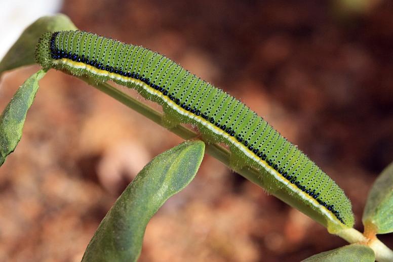 African Migrant Caterpillar