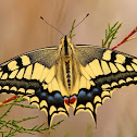 Macaón (Old World swallowtail)