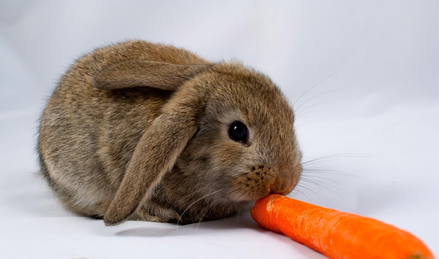 rabbit and carrot by Kitty Bern - Animals Other ( rabbit, studio, furry, one, indoors, french, space, cute, shot, looking, fur, hare, grey, animal, bunny, lop, creature, white, front, young, domestic, mammal, portrait, fluffy, sweet, sitting, easter, horizontal, pet, ears, rodent )