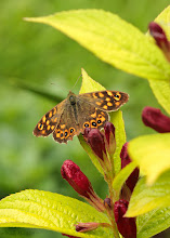 Photo: Day 2 of the #fivedayquest . A day in my life always does involve flowers and butterflies. :-) This is a Speckled Wood (Pararge aegeria) which conveniently posed on an unknown Weigela right near where I was standing this morning.  Tagging the two guys who originally tagged me +Nick Schierlohand +Roque López.  Today I choose +Sharon Jeannettewho doesn't seem to be playing this game yet, unless she doesn't want to, which is OK. But she is our butterfly lady so it seems fitting to tag her. :-)  The rules of the game are to post a photo a day for 5 days about your daily life. Tag the person who tagged you each time and every day you choose and tag a new person to start playing.