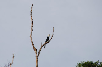 Photo: A Horn Bill high up in a tree on the river