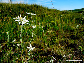 Photo: Edelweiss by the roadside
