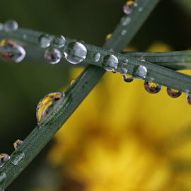 Drops of Yellow by Mary Zugelder - Nature Up Close Water ( water, reflection, dew, drops, closeup, flower,  )