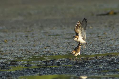 Mating by Rusman Budi Prasetyo - Animals Birds ( bird, nature, wildlife, shorebird, mating, animal, motion, animals in motion, pwc76,  )