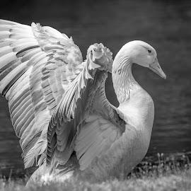 White Goose by Debbie Quick - Black & White Animals ( pond, debbie quick, nature, goose, debs creative images, new york, water, waterfowl, white, outdoors, animal, wild, hudson valley, poughkeepsie, wildlife )