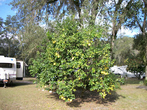 Photo: One of several Citrus Trees in this park