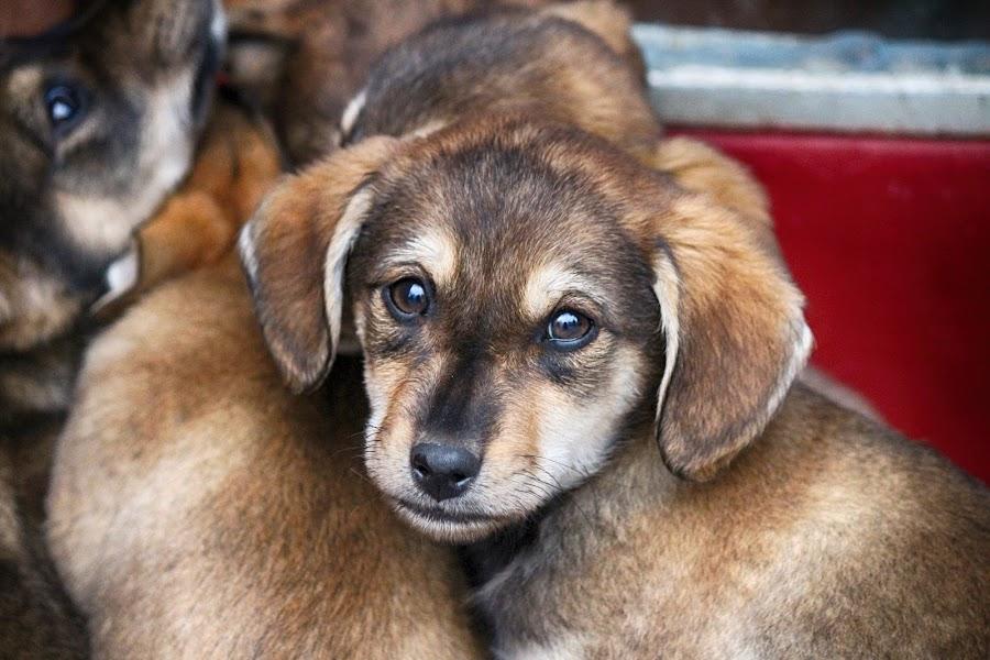 by Vukosava Radenovic - Animals - Dogs Puppies