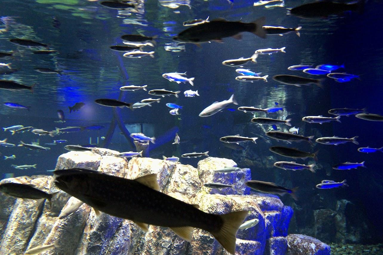 淡水魚の色々