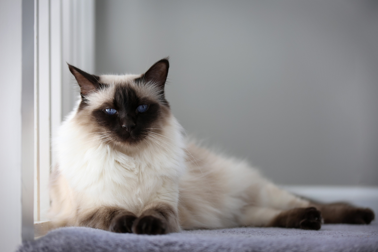 Balinese cat lounging