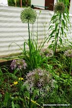 Photo: und noch mehr Allium