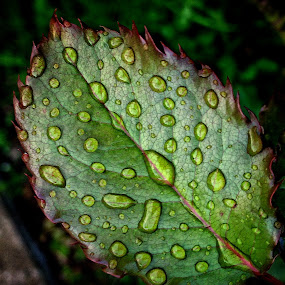 Rain on a rose leaf by Billy Kennedy - Instagram & Mobile iPhone ( rose leaf green )