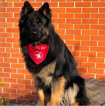 Duktig Hund Scarf Röd + diplom 5-pack