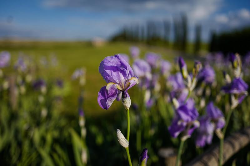 Iris di paola grassi
