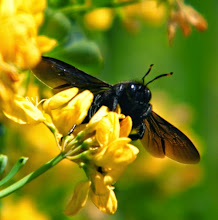 Photo: Le Xylocope violacé sur fleurs de coronille - 19.03. - Les accouplements ont commencé . Ils deviennent susceptibles pour les approcher ! Ici un mâle.