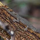 Oriental Leaf-Toed Gecko