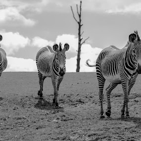 Zebras by Andy Smith - Animals Other ( b&w, grazing, safari, three, zebra,  )