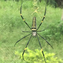 northern golden orb weaver or giant golden orb weaver