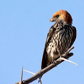 Lesser Striped Swallow by Jane Fourie - Animals Birds ( bird, nest building, nature, wildlife, bird photography,  )