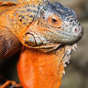 Iguana by Avi Chatterjee - Animals Reptiles ( reptiles, lizard, macro, iguana )