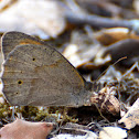Meadow Brown; La Loba